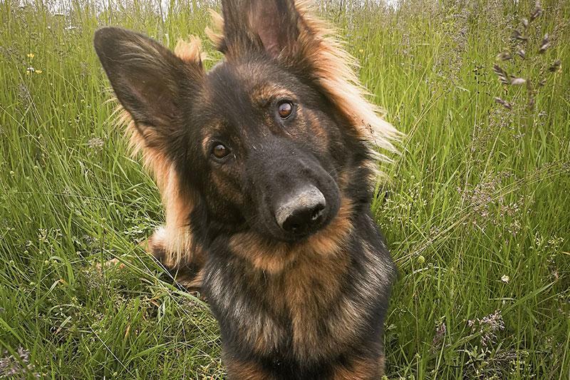 Hund mit zugewandtem Blick sitzend in hoher Wiese