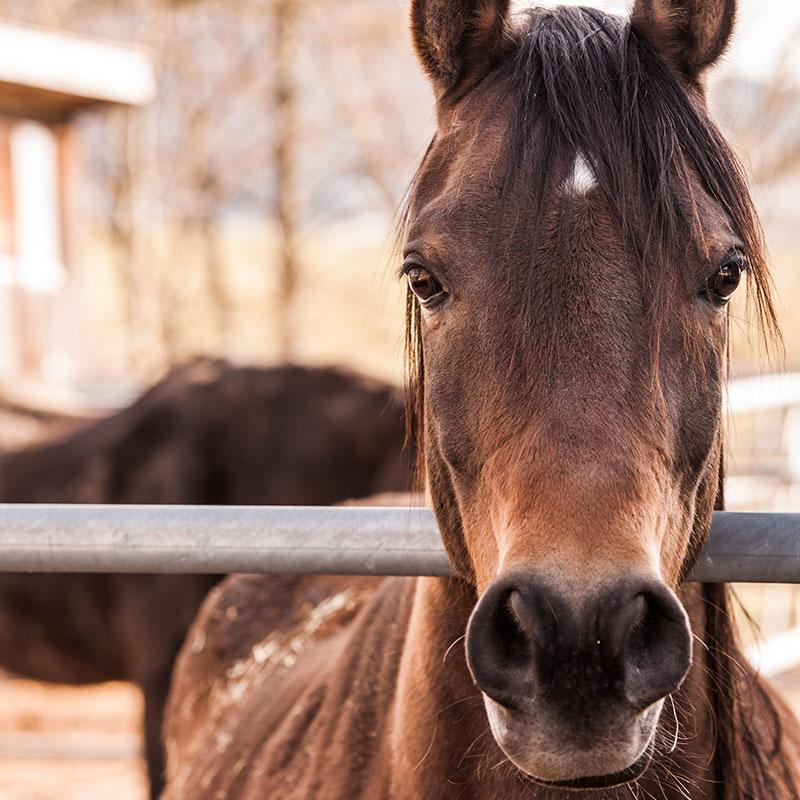 Portrait eines braunen Pferdes mit zugewandtem Blick